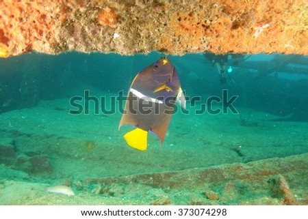 Angelfish underwater - stock photo