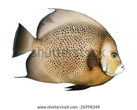 angelfish with clipping path - stock photo