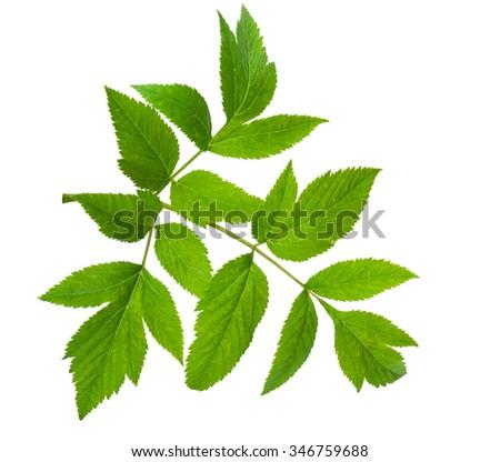 Angelica herb leaf sprig - stock photo