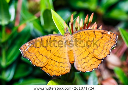 Angled castor  butterfly sucking food from flower - stock photo