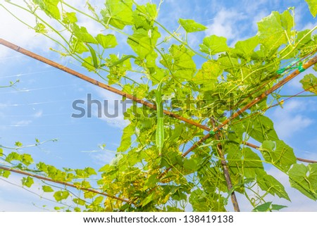 Angled gourd hanging on tree with blue sky background - stock photo