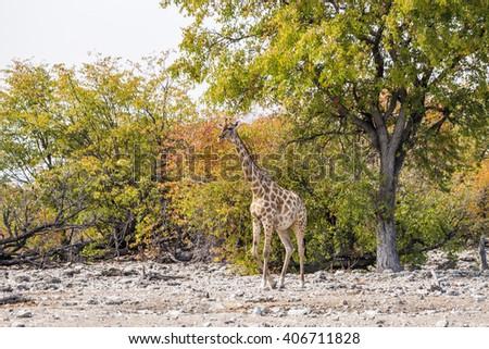 Angolan giraffe (Giraffa camelopardalis) in the autumn bush of Etosha national park, Namibia - stock photo