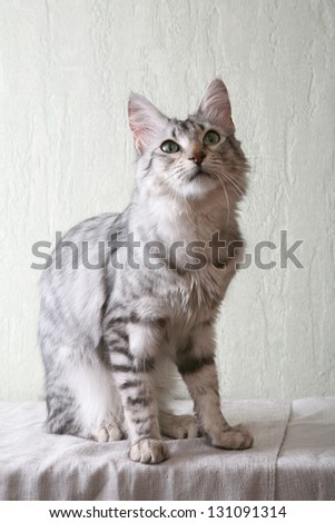 Angora cat. - stock photo