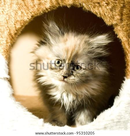 Angora kitten poking his head through a hole - stock photo