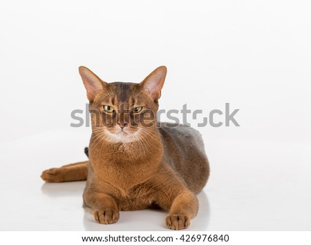 Angry and Curious Abyssinian cat looking straight. White background with reflection. - stock photo