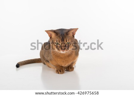 Angry and Curious and Angry Abyssinian cat sitting on the ground. White background with reflection. - stock photo
