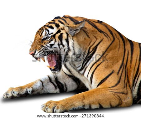 Angry bengal tiger isolated on white - stock photo