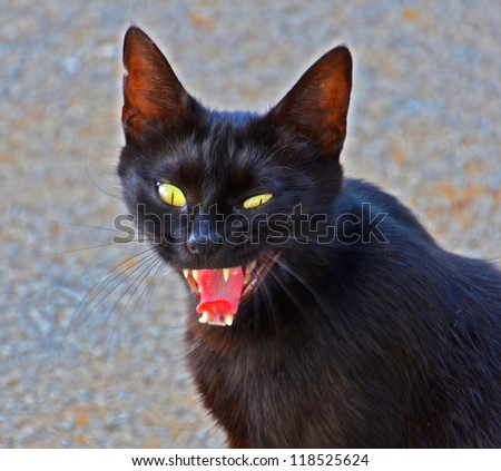 angry black cat portrait