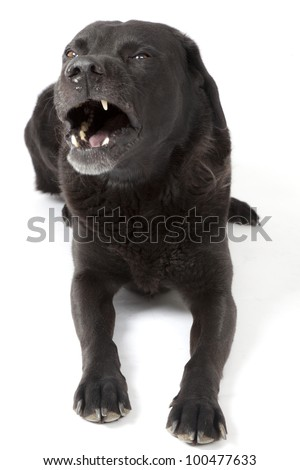 Angry black Labrador in studio