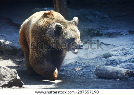 angry brown bear  - stock photo