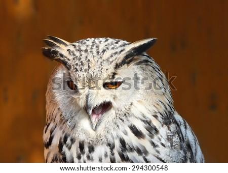 Angry Bubo bubo sibiricus - stock photo