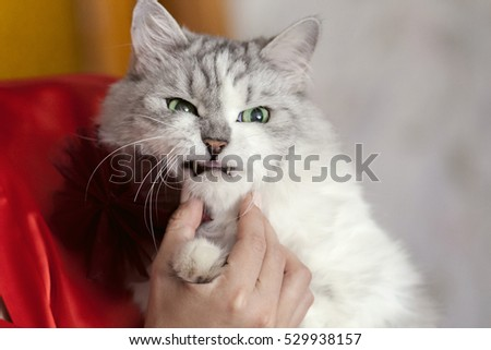 angry cat at the hands of the mistress