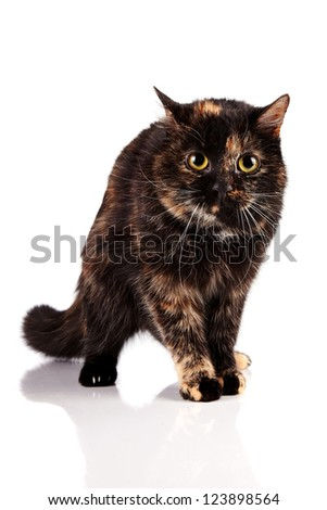 Angry cat on a white background