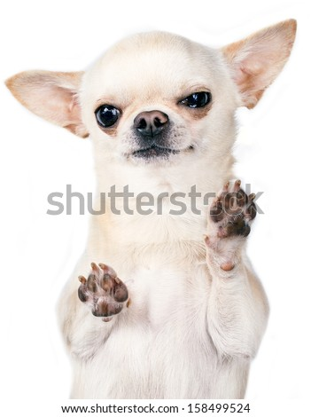 angry chihuahua standing with paws up - stock photo