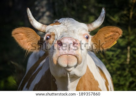 Angry cow  - stock photo
