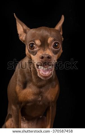 Angry dog - stock photo
