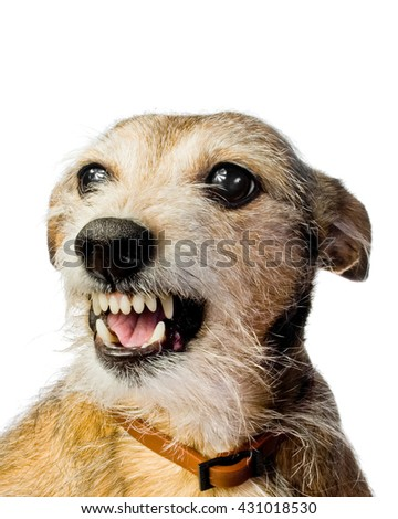 Angry dog isolated on white background