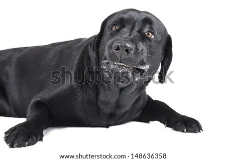 angry dog (labrador) on a white background - stock photo