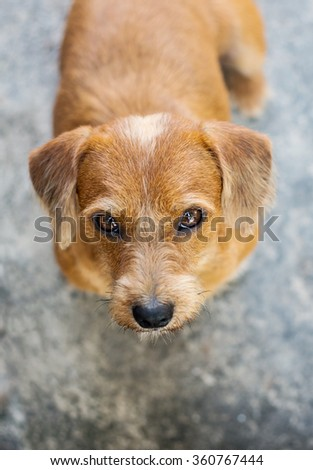 Angry Dog Looking at Me (Female 3 Year Old , Half Breed Dachshund vs Shih Tzu) - stock photo