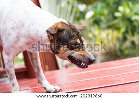 angry dog with bared teeth in Thailand - stock photo
