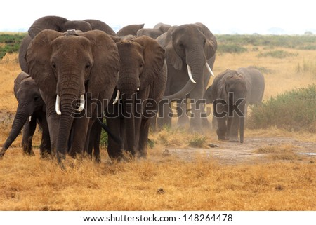 Angry elephant herd coming towards us in Amboseli National Park - stock photo