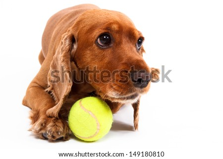 Angry English cocker spaniel dog lying with ball, isolated on white background. - stock photo