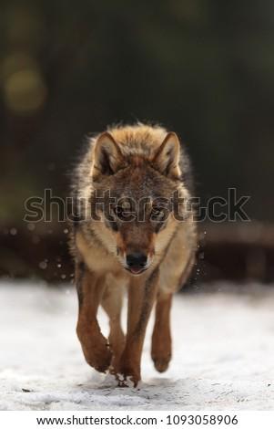 angry Eurasian wolf