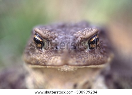 Angry eyes of toad. Metaphor for feelings and grimaces as anger, bossy, scary, to illustrate unpleasant, obnoxious, angry man or woman, or rituals of magic and witchery, and it is nice garden animal.