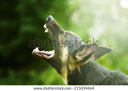angry german shepherd dog barks - stock photo