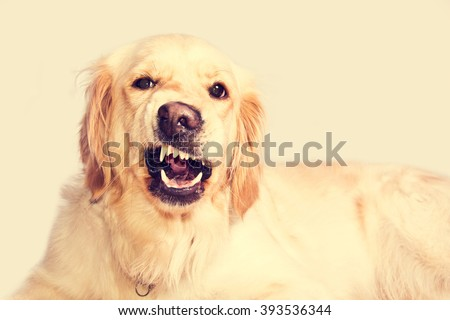 Angry golden retriever dog shows teeth. Pets. - stock photo