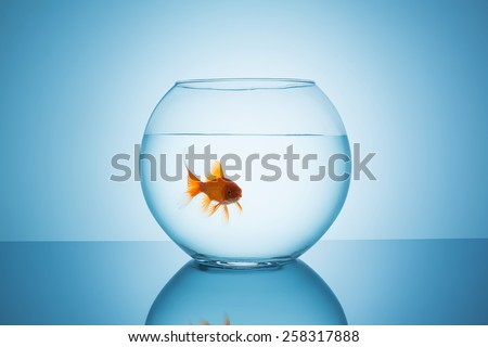 angry goldfish in a fishbowl glass - stock photo
