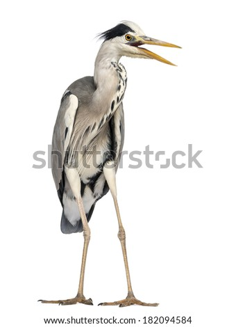 Angry Grey Heron screaming, Ardea Cinerea, 5 years old, isolated on white - stock photo