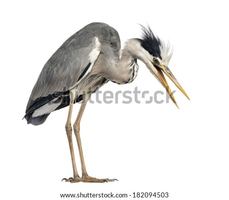 Angry Grey Heron, screaming, looking down, Ardea Cinerea, 5 years old, isolated on white