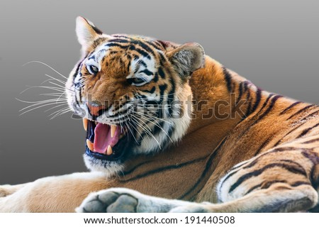 angry growling tiger on a gray background
