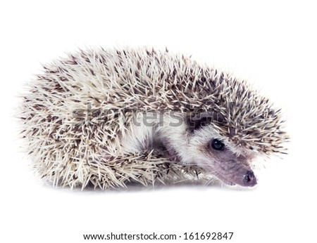 Angry hedgehog (Atelerix albiventris) unfolds from the tangle