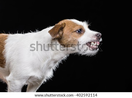 Angry Jack Russell Terrier - stock photo