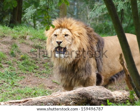 Angry lion male looking directly at the camera - portrait