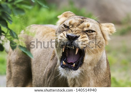 angry lioness - stock photo