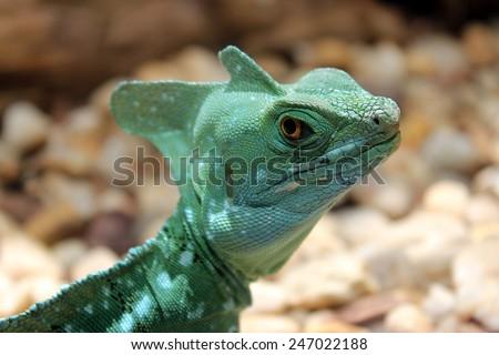 Angry Lizard Stare - Green Basilisk - stock photo