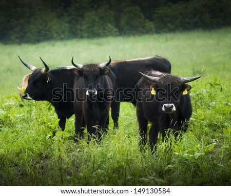 Angry looking and dangerous cows in the field - stock photo
