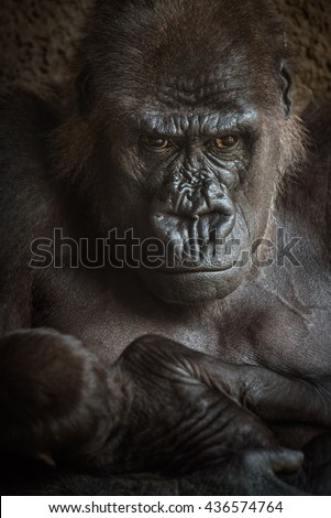 Angry-looking Western lowland gorilla breastfeeding its baby. - stock photo