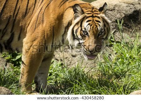 Angry malayan tiger staring, big wild cat black stripes. - stock photo