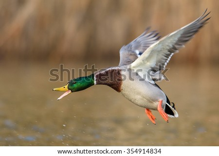 Angry Mallard Duck male in flight. - stock photo