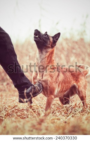 angry man kicking the dog / chien de berger belge, malinois, belgian shepherd, abuse - stock photo