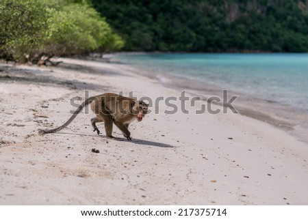 Angry Monkey on sendy beach of tropical island - stock photo