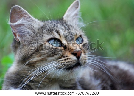 Angry Norwegian cat lying in the grass and looking upwards