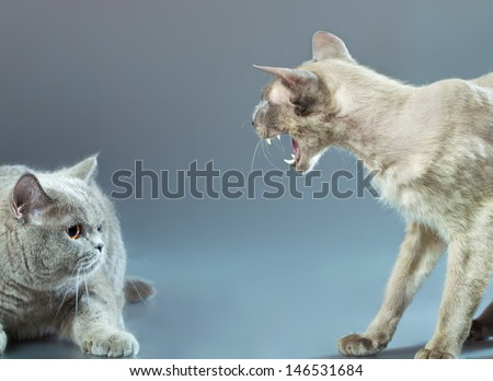 angry peterbald and blue british shorthair cat - stock photo