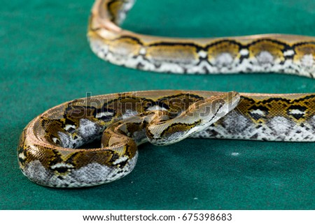 Angry Python On The Floor Close Up