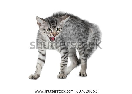 hissing cat stock images royaltyfree images  vectors