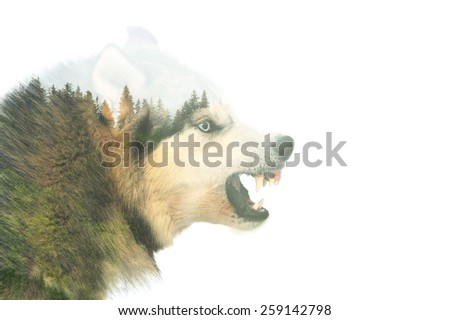 Angry siberian husky dog winter portrait. Double exposure - stock photo